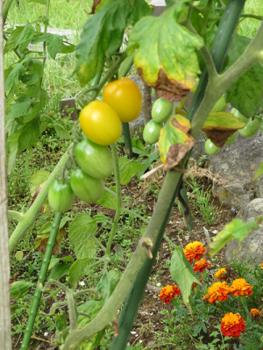 プチトマト黄色2019.png